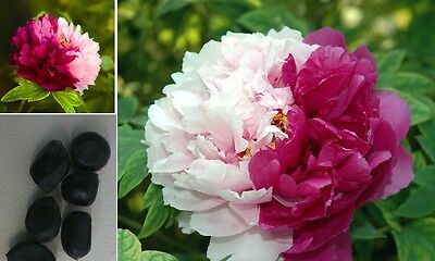 3 x subshrubby PEONY ROSES F1 Two-Colored Flower Seeds Flowers Garden #330