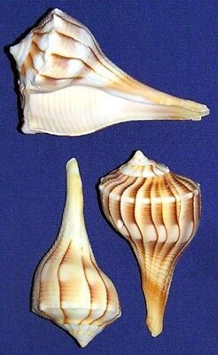 "Left Handed Whelk Seashells ~2""-3""~Craft Shells Supply~Select~3/6/12/Pcs."