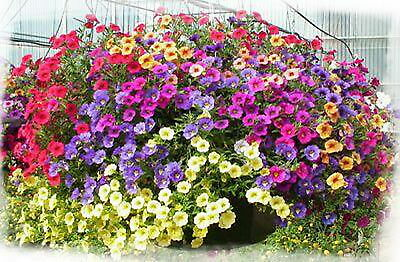 Trailing Petunia Pendula Hybrida Mix (1000 Seeds)