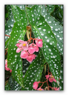 begonias double pink angel-wings, new stock, now only $18.95 per small/med pot