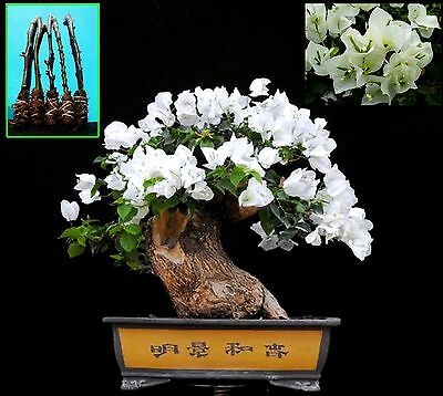 "5 Green Bougainvillea ""Shubra"" Tree Cutting"
