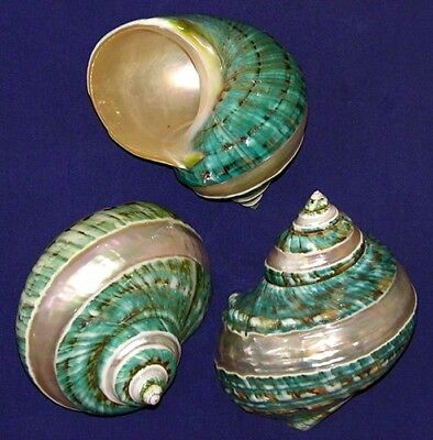 "Polished Banded Jade Green Turbo Burgess Shell~3-1/2"" -4"" Turban Craft Seashell"
