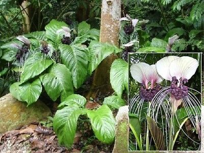 1 x TUBER BULBS Tacca nivea white batwing Mouse Plant Rare Original Flower R71