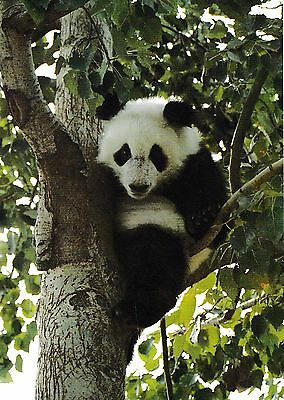 postcard post card Animals China GIANT PANDA forest tree #118