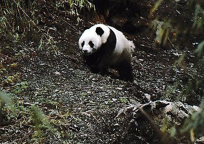 postcard post card Animals China GIANT PANDA forest #122