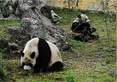 postcard post card Animals China GIANT PANDA forest #123