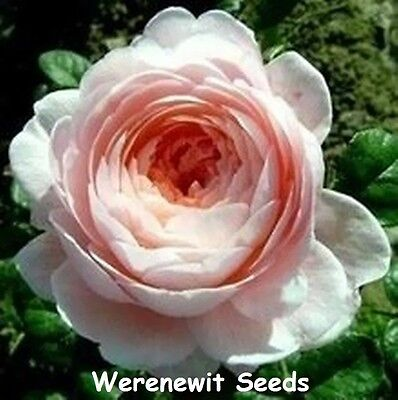 20 x QUEEN OF AMERICA  AROMATIC,HERITAGE COURTYARD FLOWERS ROSE SEEDS,FREE POST