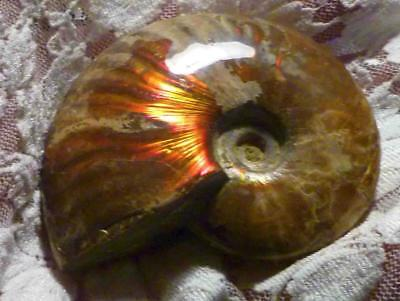 "3"" BRIGHT Red AMMOLITE Polished AMMONITE FOSSIL 575 carats"