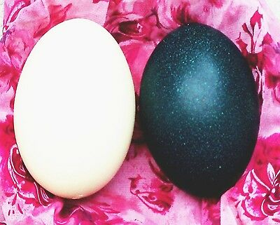 HUGE BLOWN  EMU & RHEA EGGS TO CARVE DECORATE TAXIDERMI, DISPLAY or PRESENT