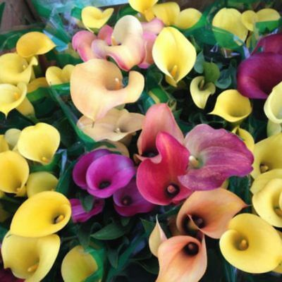 100PCS Colorful Seeds Calla Lily Flower Home Garden Plants Seed Bonsai