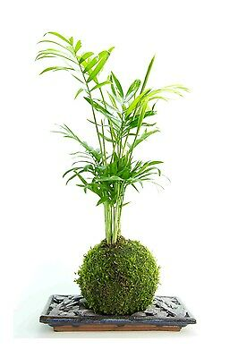 Bonsai Tree Palm - LIVE- Indoor Plant  With Blue Plate and slate  - 25cm high