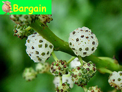 BUY 1 GET 1 FREE,NATIVE MULBERRY,Pipturus argenteus,Fruit Tree,Spice,BushTucker