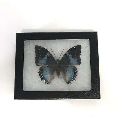 Rare Real Framed Mounted Gorgeous Blue Black Butterfly Taxedermy