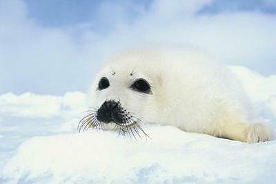 "Robbenbaby / Robbe Poster ""baby Seal Cub"""