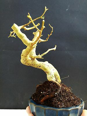 Ficus Wiandi Live Bonsai - Natural bonsai for Professionals
