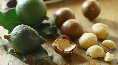 MACADAMIA NUT,Macadamia integrifolia,Fruit Tree,Bush Tucker,Spice,Herb,Plant,Pot