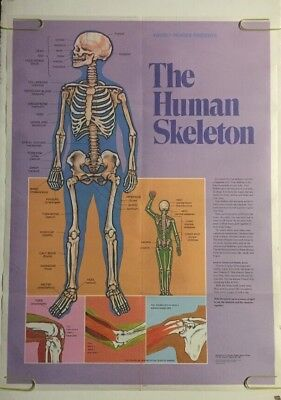 Vintage Poster The Human Skeleton & Muscles Of The Human Body Anatomy Chart 80's