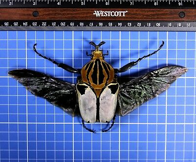 Goliathus Cacicus Mounted Flying Wings Large A1 Male 82mm Abidjan 1996 20821