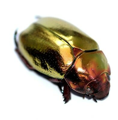 Platin-Gold Jewel Scarab Chrysina Curoei Rarity A1+ Mint Female C.America 20851