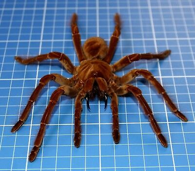 Theraphosa Blondi Birdeater Tarantula Large Female Rare Museum Quality 20835