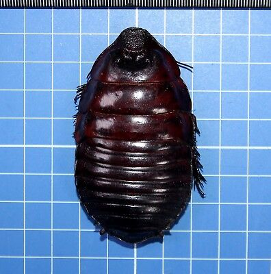 Australian Monster Cockroach Macropanesthia Rhinoceros Giant Size Rare 20604