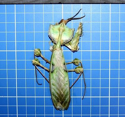Idolomantis Diabolica Male Devils Mantis East Africa Taxidermy Mantidae 20564