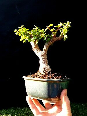 Micro Bonsai - Dwarf jade Pre bonsai - Very old plant