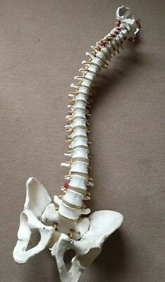 Life Size Human Anatomical Anatomy Spine Skeleton Medical Teaching Model