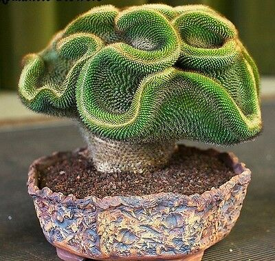 10x Rare Succulents Coral Cactus Cactus NEW Plant Seed 99% Yield #203
