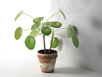 Pilea peperomioides. 'Chinese Money Plant'