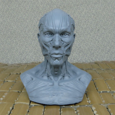 1:3 Resin Adult Human Muscular Skull Model Best for Painting And Design
