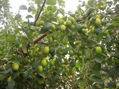 Jujube Seeds Honey Sweet Seeds Fruit Bonsai High Nutrition Hot Selling
