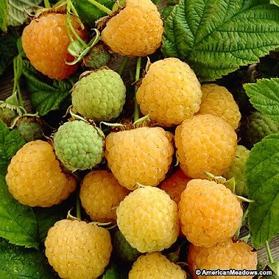 Yellow Raspberry - Fall Gold (30 Seeds)