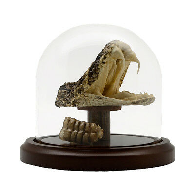 Real Taxidermy Eastern Diamondback Rattlesnake Head/Tail Rattle In Glass Display