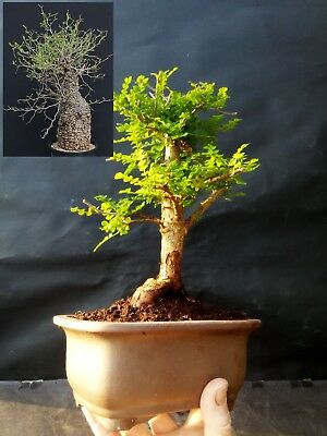 Operculicarya Decaryi Bonsai- Natural bonsai - The most unusual plant in town