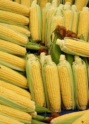SWEET CORN 'Max' 20+ seeds SUPERSWEET corn HEIRLOOM vegetable garden SPRING