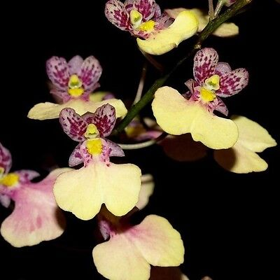 RON. Special Orchid  deal - 6 small growing oncidium type plants (1702)