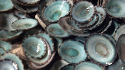 """10 Large Limpet Quality Hand Picked Green Blue Limpet Shells 3/4 to 1 1/2"""" 2 cm+"""