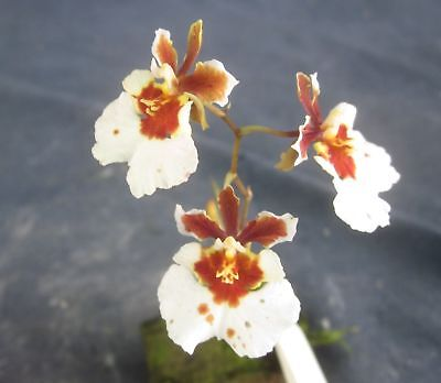 RON. Bulk Orchid deal. 10 un-named Tolumnias - lucky dip (1820)