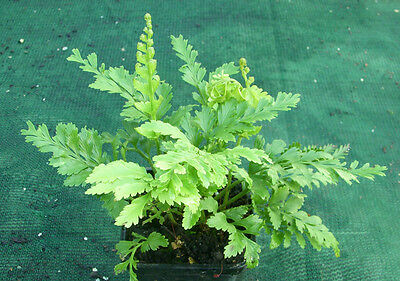Asplenium 'Island Beauty' fern (A.bulbiferum x surrogatum) - Gorgeous!!