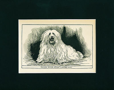 Dog Art Print 1900 Maltese Dog ANTIQUE