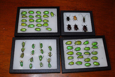 BEETLE BLOWOUT!!  Many specimens, see images, Chrysina and more