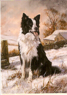 Border Collie Pack of  5 Christmas Cards by John  Trickett Ready to Work