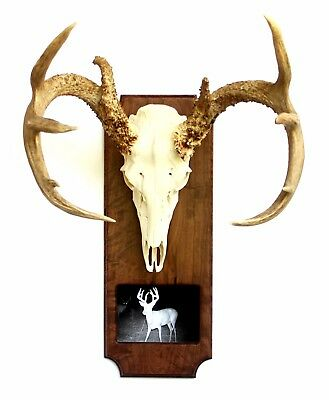 Solid Wood European Deer Skull Mount Photo Plaque, Mounting hardware included