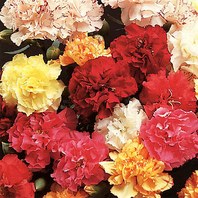 Carnation - Enfant de Nice - Appx 2000 seeds - Annual / perennial