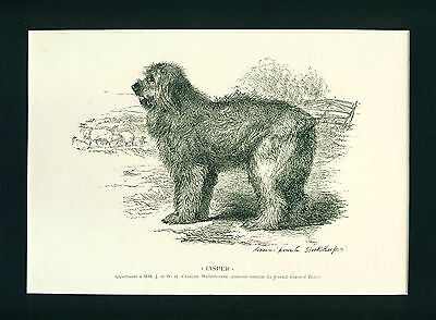 ANTIQUE Engraving Print 1897 Old English Sheepdog Dog