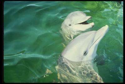 16X20 inch Animal Collection CanvasArt Atlantic bottlenose dolphin