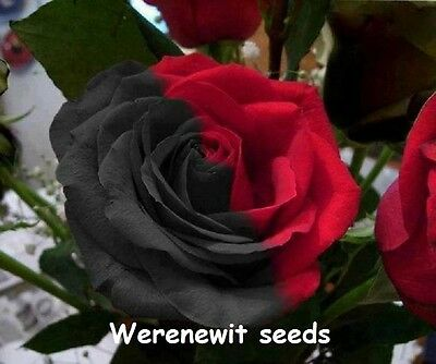 20 X Exotic Rare Red/black Yuanyang Rose Seeds Aussie Seller Dont Miss Out