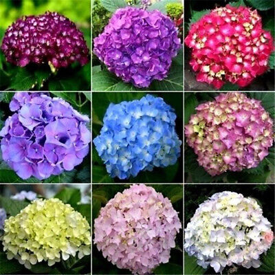 20pcs Mixed Hydrangea Flower Seed Ideal Garden Potted Rare Plant Ornamental