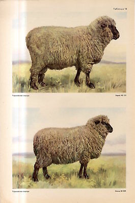 c1940s GORKY SHEEP BREED MALE FEMALE Antique FOLIO Print